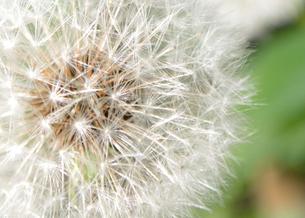 タンポポの綿毛の写真素材 [FYI01266349]