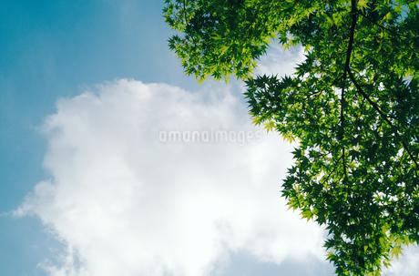 春葉のもみじと白い雲の写真素材 [FYI01266350]