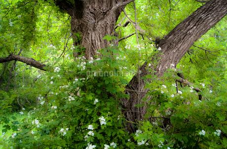 白い花に囲まれた古木の写真素材 [FYI01266353]