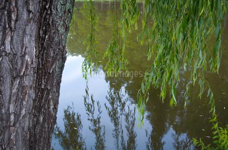 水辺の柳の写真素材 [FYI01266354]
