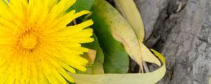 木の根元に咲くセイヨウタンポポの写真素材 [FYI01266355]