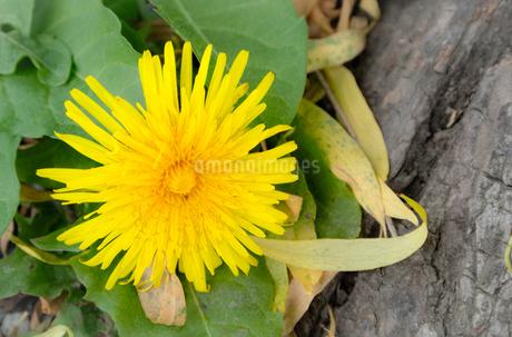 木の根元に咲くセイヨウタンポポの写真素材 [FYI01266356]
