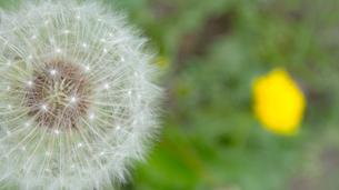 セイヨウタンポポの綿毛(種)と花の写真素材 [FYI01266357]