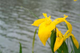 水辺に咲く黄色い花しょうぶの写真素材 [FYI01266358]