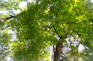 新緑の葉を広げる木の写真素材 [FYI01266365]