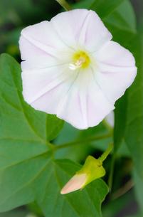 薄ピンク色のヒルガオの写真素材 [FYI01266368]