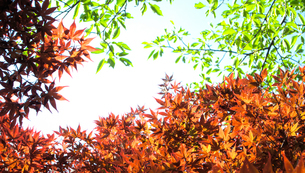 春葉が赤茶色のもみじと緑の木の葉の写真素材 [FYI01266369]