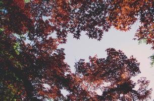 春葉が赤茶色のもみじ/カエデの写真素材 [FYI01266370]