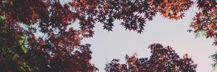 春葉が赤茶色のもみじ/カエデ(1:3サイズ)の写真素材 [FYI01266371]