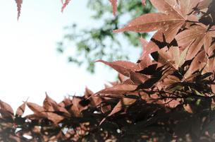 春葉が赤茶色のもみじ/カエデ(加工)の写真素材 [FYI01266372]