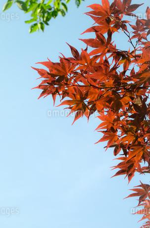 春葉が赤茶色のもみじ/カエデの写真素材 [FYI01266373]