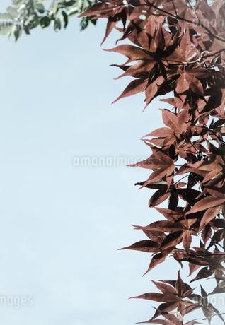 春葉が赤茶色のもみじ/カエデ(加工)の写真素材 [FYI01266374]