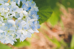 咲きはじめた紫陽花(アジサイ)の写真素材 [FYI01266375]