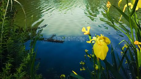 池の淵に咲く黄色い花しょうぶの写真素材 [FYI01266376]