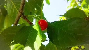 河津桜(カワヅザクラ)の赤い実の写真素材 [FYI01266377]