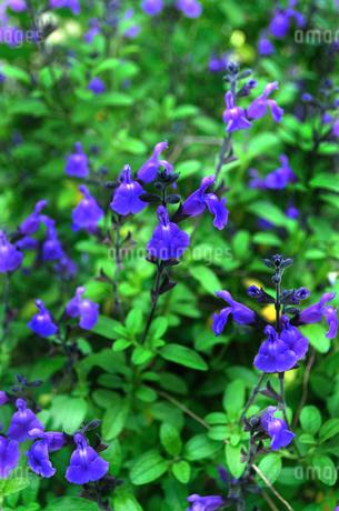 紫色の花の群生の写真素材 [FYI01266472]