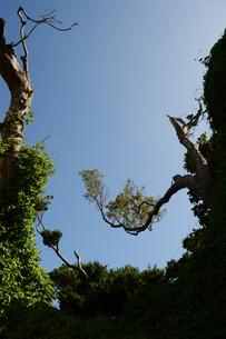 晴天の空に南国の奇妙に曲がった木の写真素材 [FYI01266491]