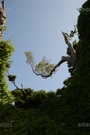 晴天の空に南国の奇妙に曲がった木の写真素材 [FYI01266492]