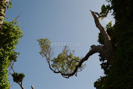 晴天の空に南国の奇妙に曲がった木の写真素材 [FYI01266493]