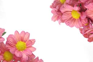 菊の花束の写真素材 [FYI01266561]