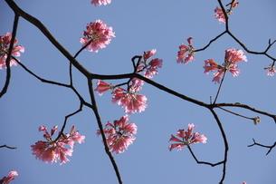 ブラジル国花のイペーの写真素材 [FYI01266566]