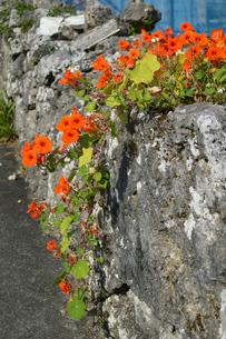 古い石垣に這うように咲く赤い花の写真素材 [FYI01266580]