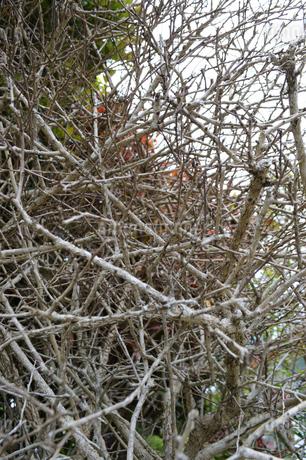 枯れた木の枝が幾重にも重ねっているの写真素材 [FYI01266582]