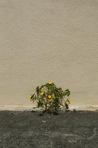 壁と舗装路の間に咲く黄色い花の写真素材 [FYI01266588]