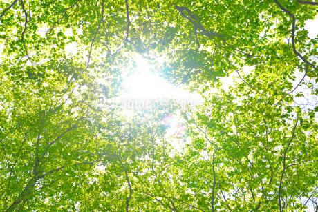 新緑のブナ林の写真素材 [FYI01266636]