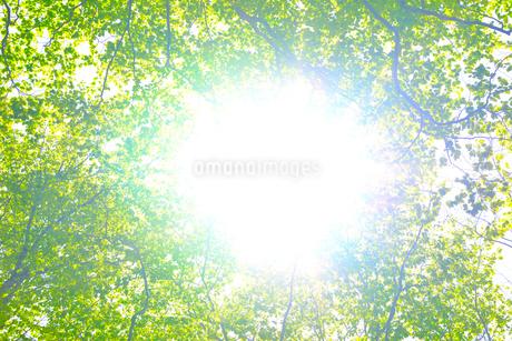 新緑のブナ林の写真素材 [FYI01266637]