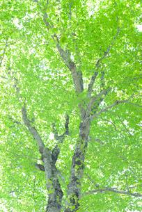 新緑のブナ林の写真素材 [FYI01266638]