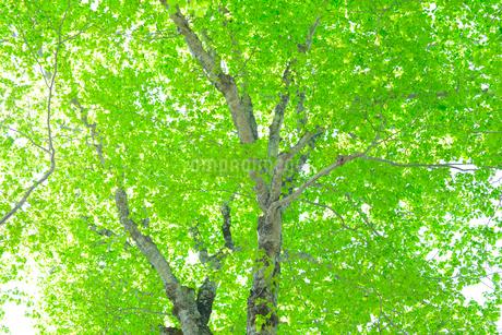 新緑のブナ林の写真素材 [FYI01266639]