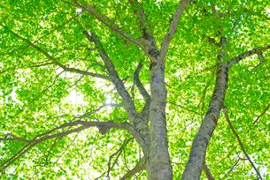 新緑のブナ林の写真素材 [FYI01266640]
