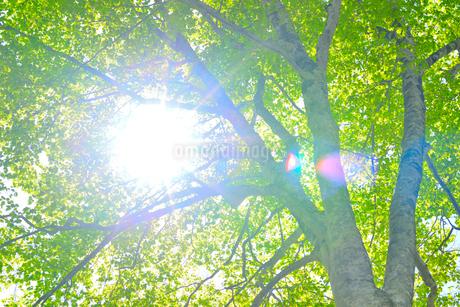 新緑のブナ林の写真素材 [FYI01266642]