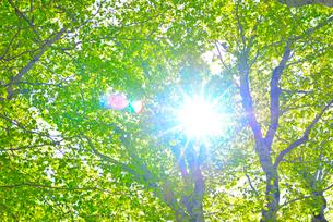 新緑のブナ林の写真素材 [FYI01266643]