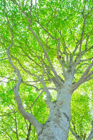 新緑のブナ林の写真素材 [FYI01266644]