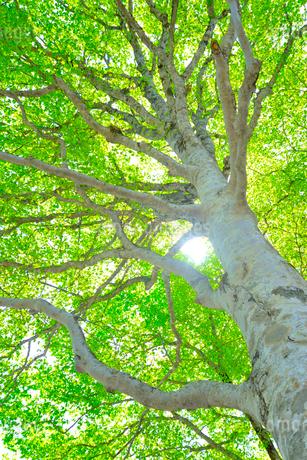 新緑のブナ林の写真素材 [FYI01266645]