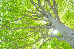 新緑のブナ林の写真素材 [FYI01266646]