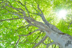 新緑のブナ林の写真素材 [FYI01266647]