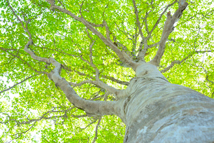 新緑のブナ林の写真素材 [FYI01266648]