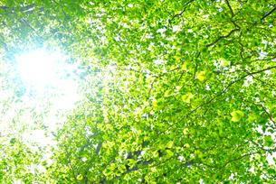 新緑のブナ林の写真素材 [FYI01266649]
