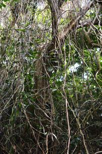 南国のジャングルで大量のツタに覆われる木の写真素材 [FYI01266659]