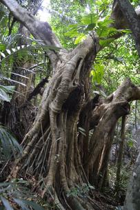 南国のジャングルに生えるガジュマルの写真素材 [FYI01266660]