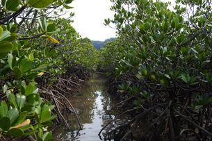 南国のマングローブの林の写真素材 [FYI01266662]