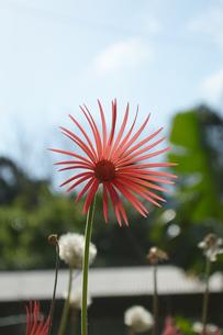 南国の花びらが細く可愛い赤い花の写真素材 [FYI01266673]