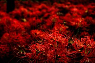 群生する曼珠沙華の写真素材 [FYI01266701]