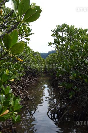 南国のマングローブの林の写真素材 [FYI01266713]