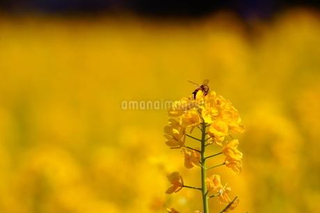 蜜を求めて飛ぶ蜂の写真素材 [FYI01266785]