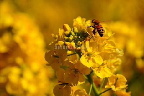 菜の花とミツバチの写真素材 [FYI01266786]