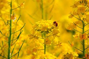 蜜を求めて飛ぶ蜂の写真素材 [FYI01266791]